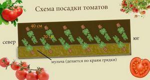 Детерминантные томаты - что это такое?