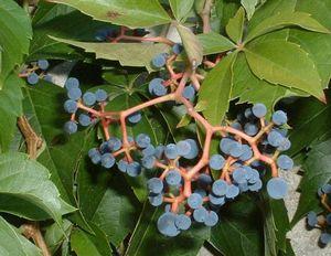 Дикий виноград: сорта, посадка и уход