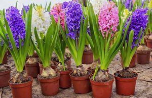 Домашний гиацинт: уход после цветения