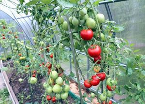 Дозревание зеленых томатов