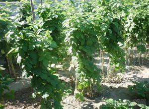 Двойная обрезка малины весной - залог высокого урожая малины