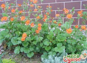 Фиалки химеры: популярные сорта и правила выращивания