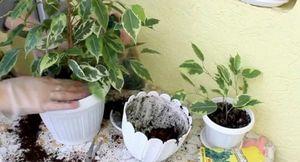 Фикус: выращивание и уход, фикус зимой