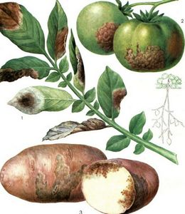 Фитофтороз у картофеля.