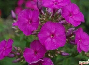 Флокс аметист - красивый многолетник для сада