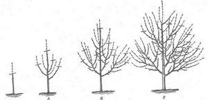 Формируем крону плодового дерева