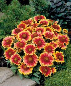 Гайлардия многолетняя - очаровательный огненный цветок в саду