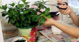 Гардения жасминовидная - китайская красавица на подоконнике