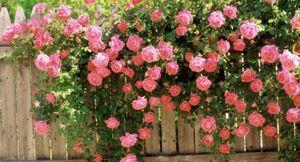 Где и как лучше сажать плетистую розу