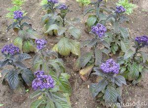 Гелиотроп: как вырастить цветок?