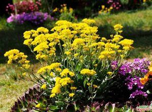 Гелониас: полезные свойства и правила выращивания