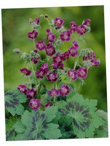 Герань душистая: описание, виды и выращивание