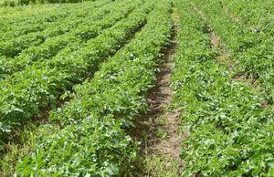 Гербициды для картофеля – надежное избавление от сорняков
