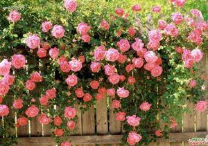 Гиацинтовые бобы: декоративное вьющееся растение для вашего сада