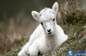 Год какого животного 2015