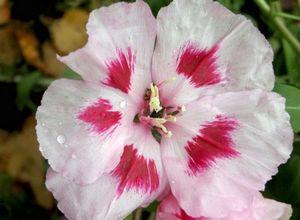 Годеция: выращивание в саду, способы размножения