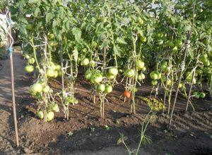 Голландская технология выращивания томатов, ее суть и преимущества