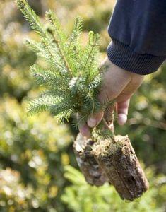 Голубая ель из семян: посев, уход и пересадка всходов в грунт