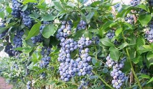 Голубика садовая в теплице: сорта, правила посадки и выращивания