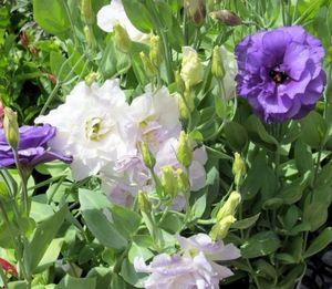 Горечавка – декор современного сада: правильная посадка и уход
