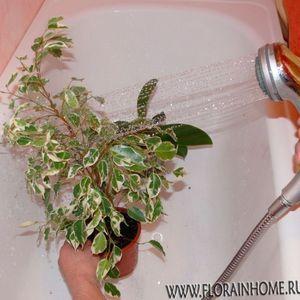 Горячий душ для комнатных растений - процедура проведения, польза и вред