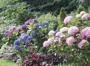 Гортензия бесконечное лето: цветущая красота на вашем участке