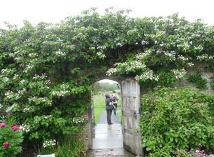 Гортензия черешковая: как вырастить садовую лиану?