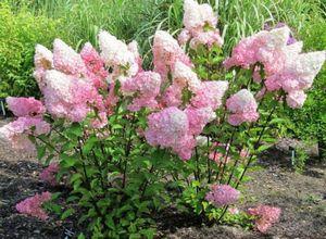 Гортензия древовидная: способы посадки и правила ухода за растением