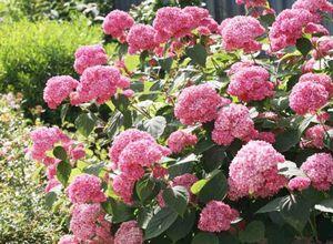 Гортензия: секреты посадки и ухода от бывалых садоводов