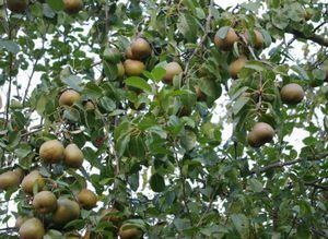 Груша просто мария: характеристика сорта,условия выращивания и способы размножения