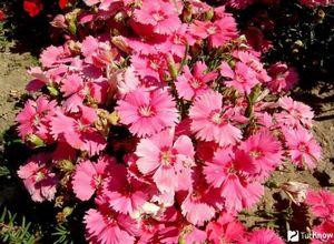 Гвоздика полевая: описание, выращивание, уход и сбор растения