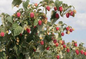 Характеристика и агротехника ремонтантного сорта малины полана