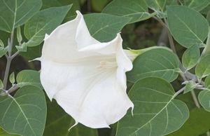 Характеристика нескольких видов дурмана и правила выращивания этих цветов