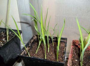 Хитрости садоводов - как вырастить маргаритки из семян