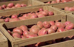 Хранение картофеля без подвала на даче
