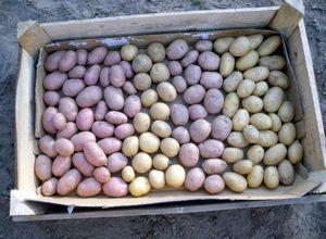 Хранение семян картофеля – еще одна головная боль хозяев