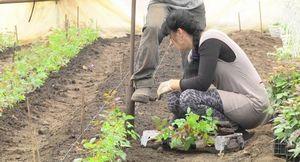 Хризантемы в теплице: технология выращивания