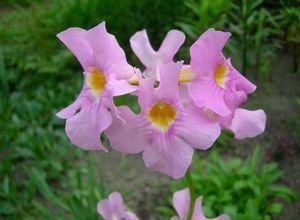 Инкарвиллея: особенности выращивания и советы по уходу