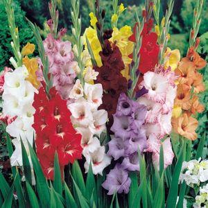 Интересные сорта гладиолусов для сада: описание и выращивание