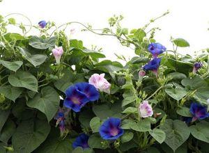 Ипомея – изящное украшение сада