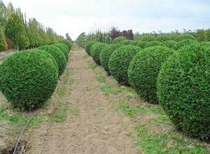 Из чего лучше сделать живую изгородь? быстрорастущая живая изгородь