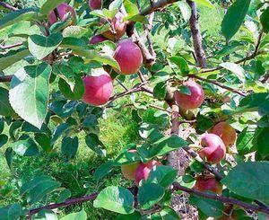 Яблони сорта раннее алое