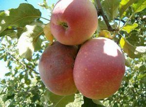 Яблоня апорт: урожайный и крупноплодный сорт