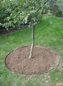 Яблоня богатырь – самый урожайный зимний сорт