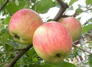 Яблоня чемпион: описание и выращивание в саду