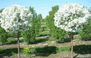 Яблоня недзвецкого - красивое декоративное дерево для вашего участка