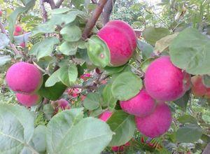 Яблоня орлик – идеальный сорт для выращивания на небольших участках