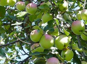 Яблоня: посадка, уход, размножение, сорта