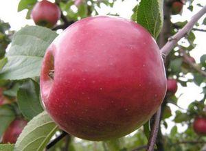 Яблоня слава победителям: преимущества сорта, посадка и уход