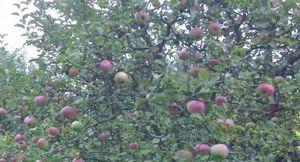 Яблоня уэлси: описание, уход и обрезка дерева